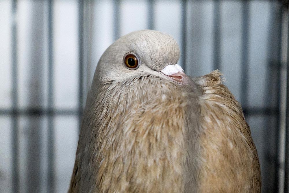 pigeons002