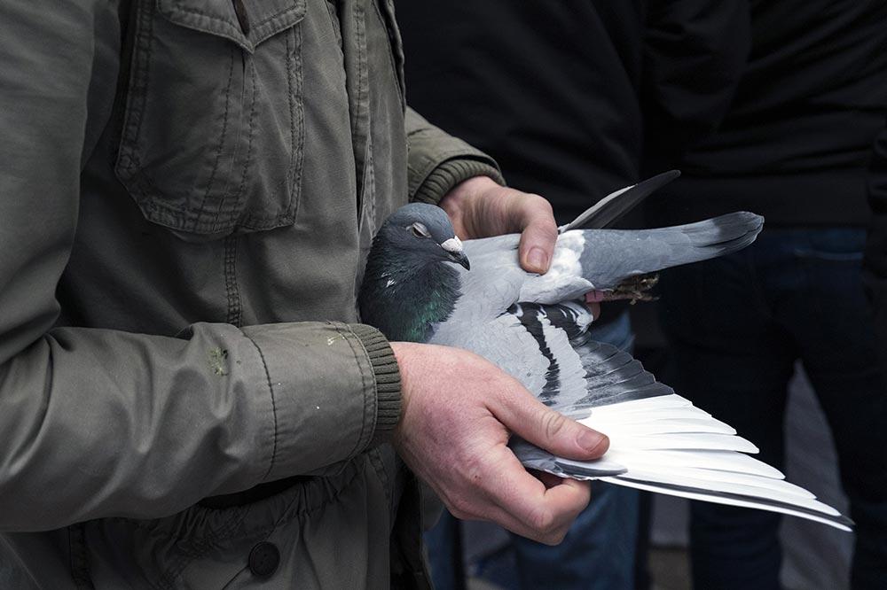 pigeons006