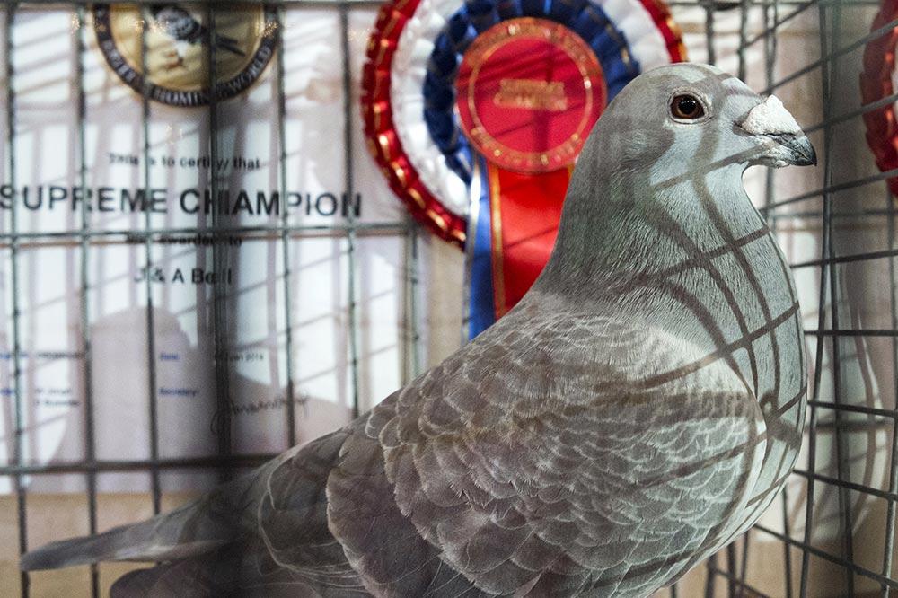 pigeons007