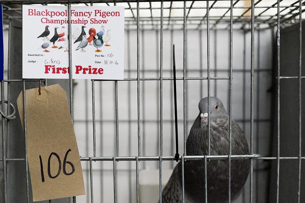 pigeons009
