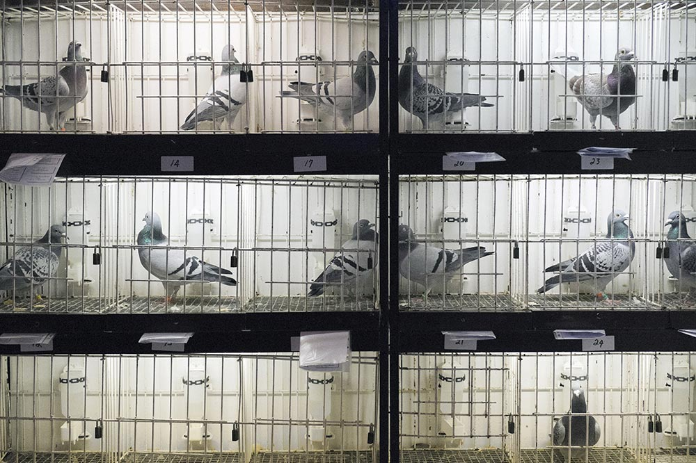 pigeons013