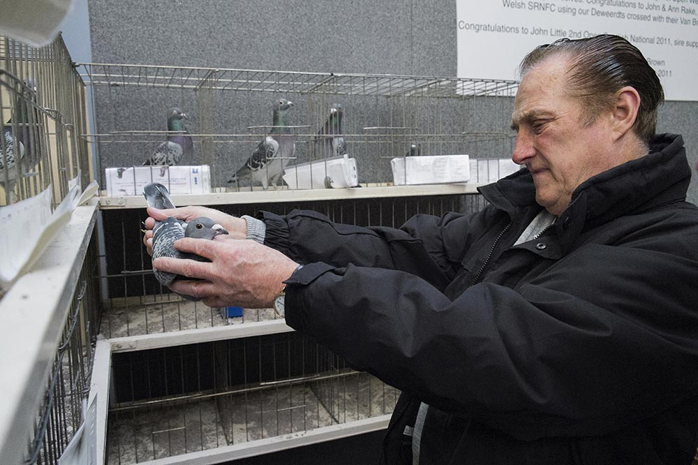 pigeons015